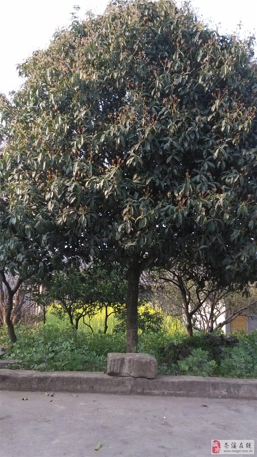 微信头像一棵冬季树