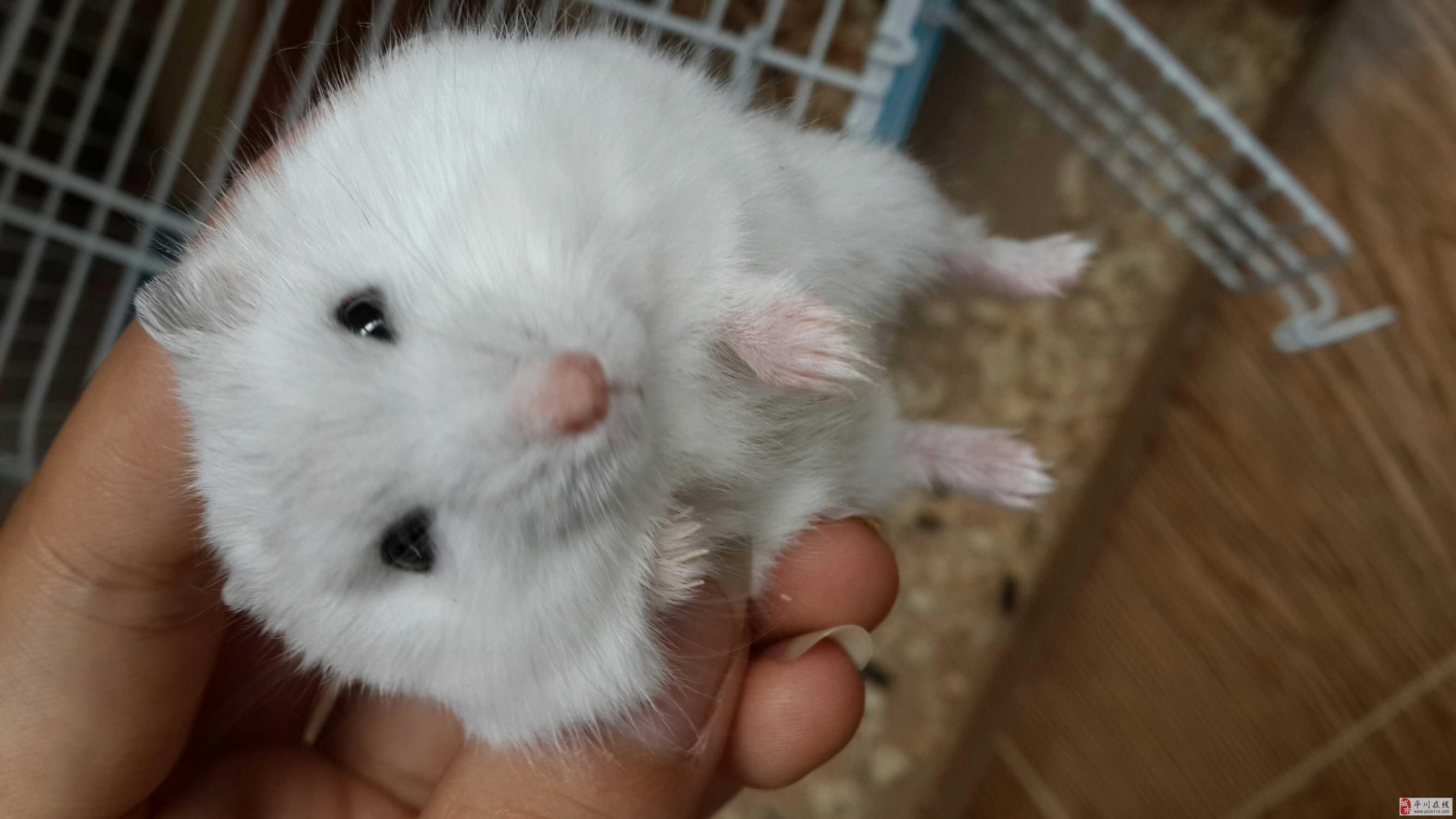 可爱小仓鼠一枚求带走