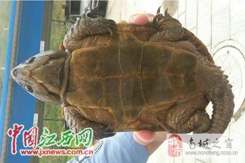 竟是国家二级保护动物鹰嘴龟