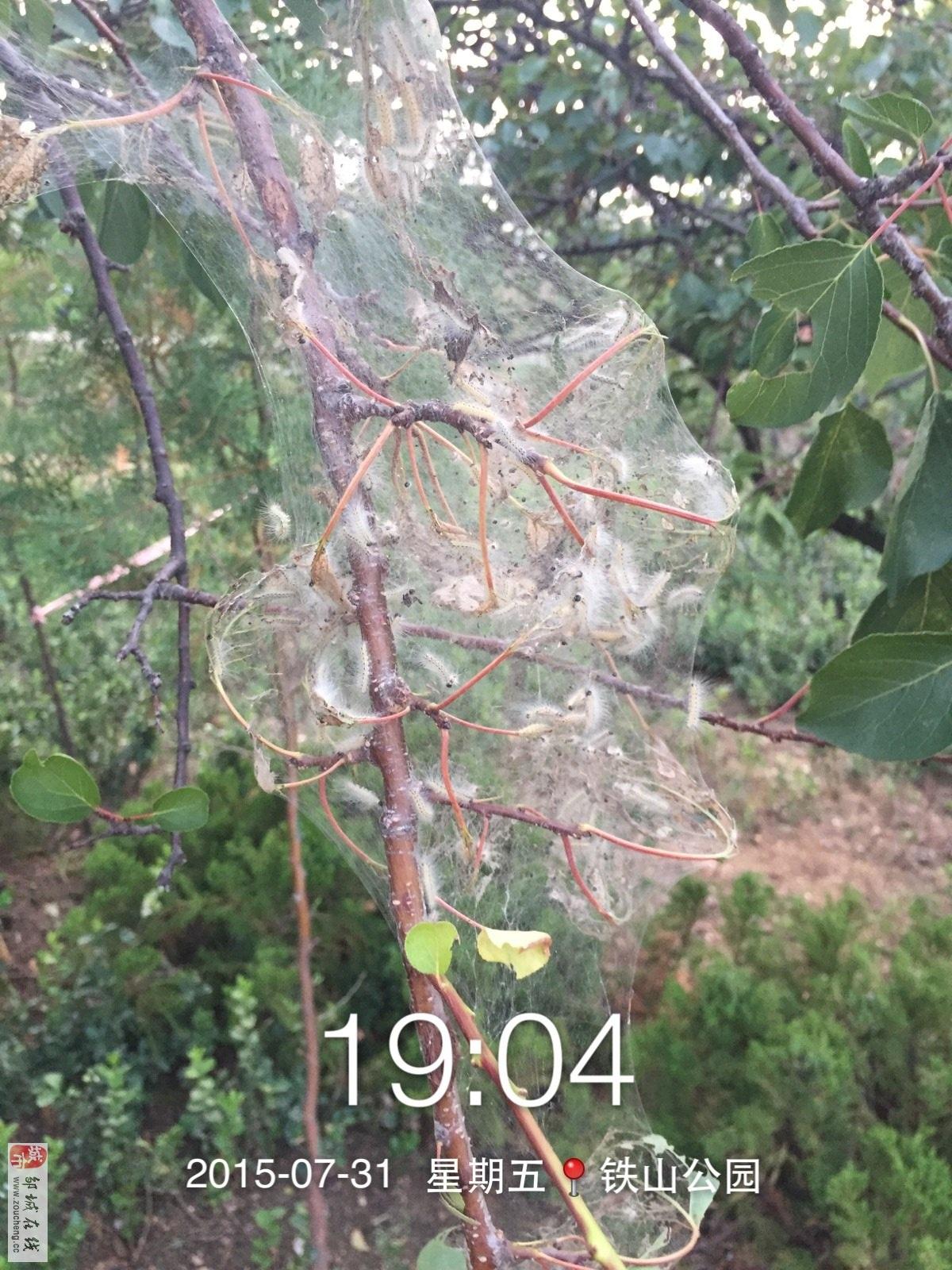 铁山公园发现的美国白蛾网幕及幼虫