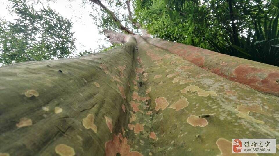 镇雄木卓有两棵活了千年的马灵光树,珍惜古树