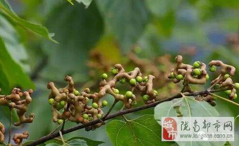 野香蕉(八月瓜)为白木通和三叶木通的果实