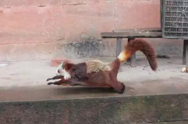 近日,泸州市古蔺县桂花乡汉溪村村民在路上遇见一只受伤的野生动物,于是便把它带回家里包扎救治。治好后,因不知它是何种动物,便把它交给桂花乡政府。经相关部们查看,确认这是一只国家二级保护动物棕足鼯鼠(飞狐),现这只小可爱已被放归大自然。   据桂花乡政府工作人员徐挺介绍,吴龙杰在家中突然看见一只动物,从8米高的空中落入后阳沟,他随即赶过去,却发现这只动物不像狐狸、也不像猫,头部有明显的撞痕,便将他抱回家里进行救治,同时,打电话向桂花乡政府汇报情况。   经救治后,小动物逐渐康复。徐挺带着专家来到了吴龙杰家