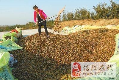 光山油茶大丰收(图)