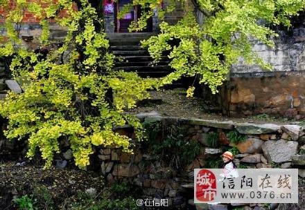 大美信阳 新县千斤乡杨高山银杏文化旅游节