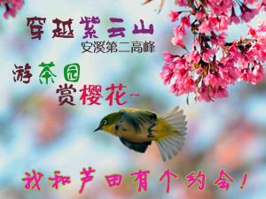 到芦田赴一场冬日约会:穿越安溪第二高峰,游茶园赏樱花~~~