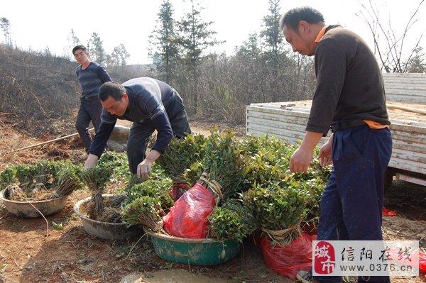 信阳光山:青龙河栽种白茶带动周边农民精准脱贫