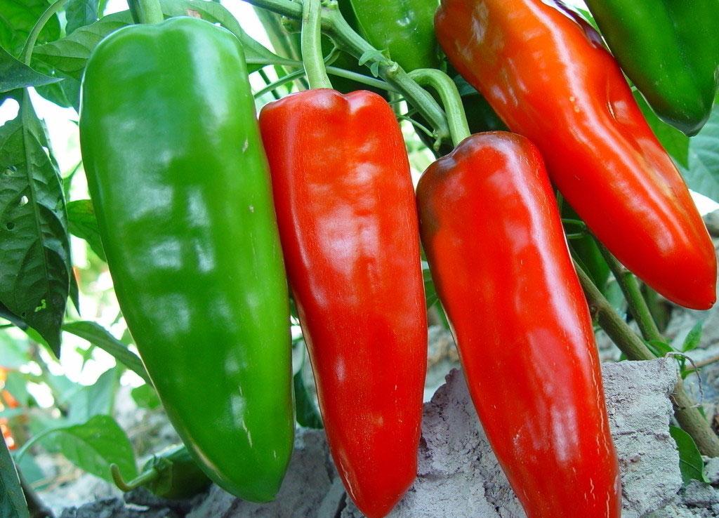 请问这种辣椒是叫什么辣椒?什么品种?学名叫什么?产地