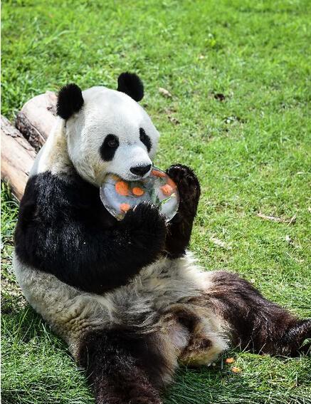 """8月4日太原动物园大熊猫馆内大熊猫""""彩陶""""在树上模仿孙悟空""""手搭"""