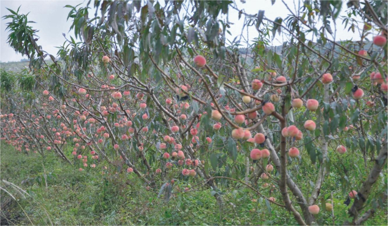 河北邯郸:冬桃成熟 果园飘香