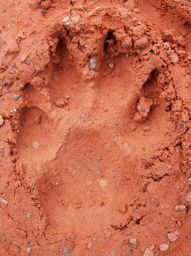 长约9厘米,宽约7厘米,四个爪子,在泥地上清晰可见12月5日晚,几十个这样的脚印出现在泸州市叙永县龙凤镇四坪村3组泥巴场(小地名)公路边,当地村民认为这些脚印既不像黑熊的脚印,也不太可能是本地猫狗的足迹,有人推测是老虎,一时间人心惶惶。   昨(9)日下午,叙永县林业局高级工程师魏跃远查看和辨认后认为,地上的足迹不是熊的脚印,也不太可能是老虎的足迹。四川农业大学徐怀亮教授看过图片后表示,可能是大型犬科类动物的痕迹。   外地车逗留一小时 村民查看发现脚印   沿着叙永县龙凤镇镇政府前的村道进山,开