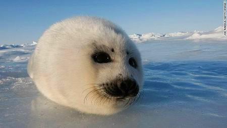 英格兰竖琴海豹图片