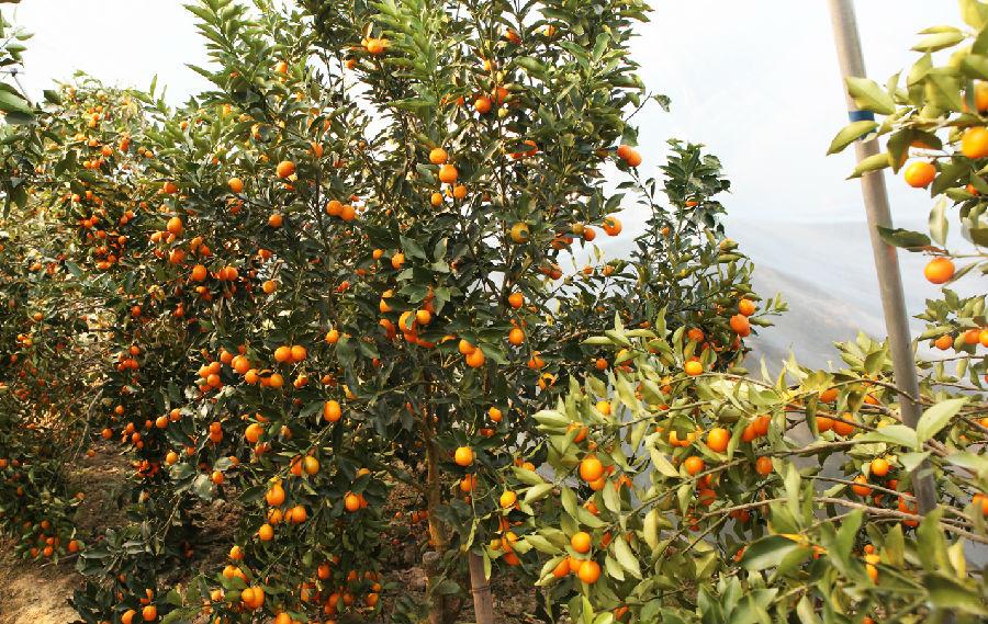 在果园里,金桔树上挂满了沉甸甸,金灿灿的金桔.