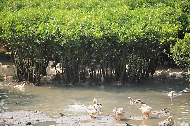 大片的红树林为跑海鸭提供了天然的养料和栖息地,使得这里的鸭子和