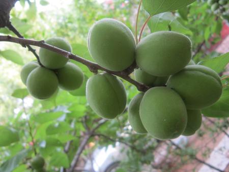 而在农村,庭院里种植的果树不但可以优化环境