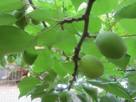 庭院里种植的果树实现了真正意义
