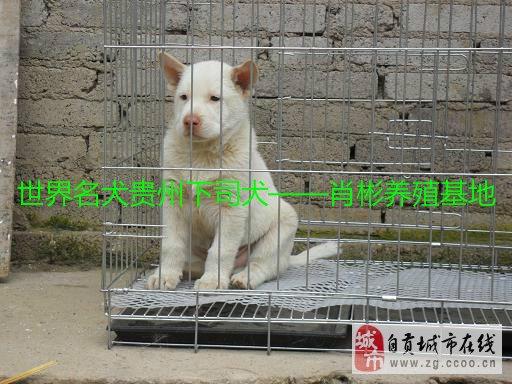 肖彬下司犬养殖基地出售纯种下司猎犬贵州下司狗幼犬