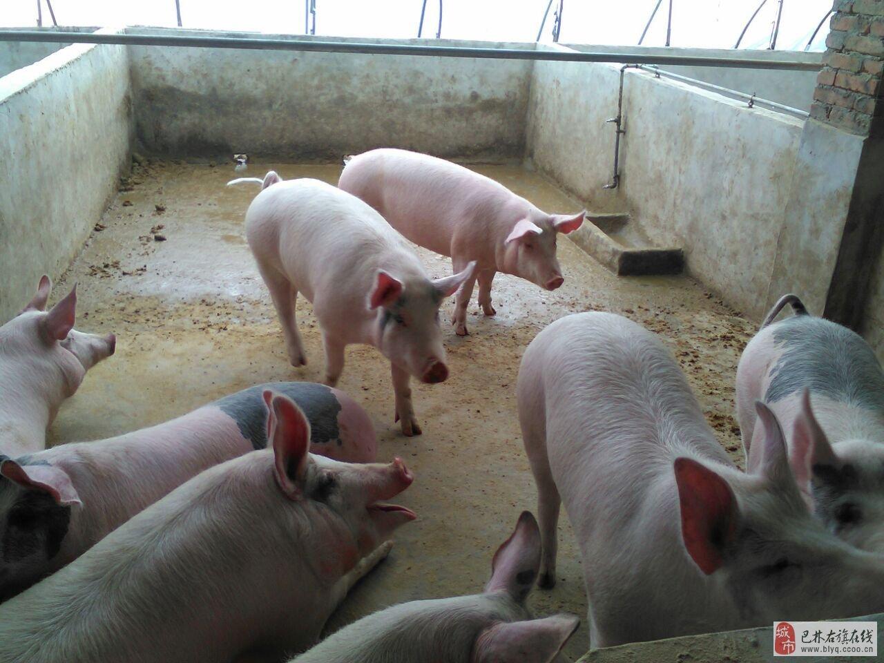 无规矩不成方圆 养猪