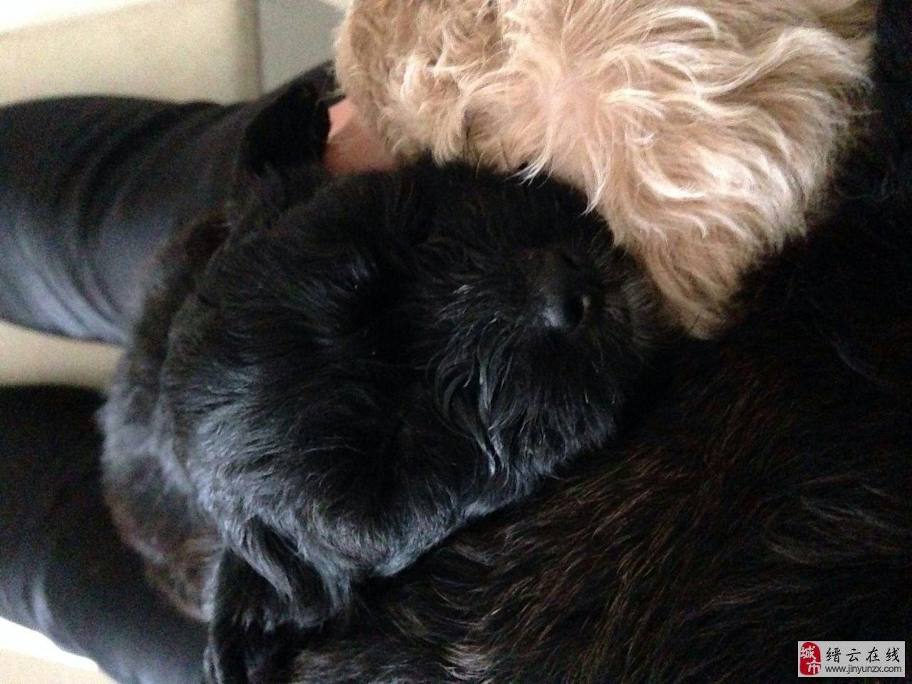 黑色泰迪小母狗一只求收养