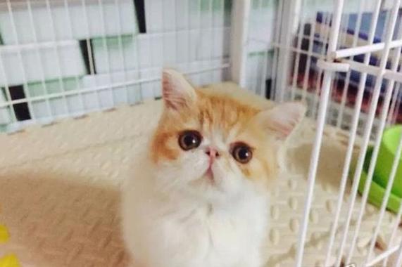 宠物猫 >> 详细信息  自己家庭繁育的加菲猫宝宝,在猫咪从小就与人