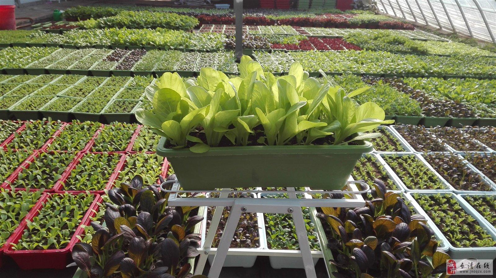蔬菜盆栽盆栽蔬菜