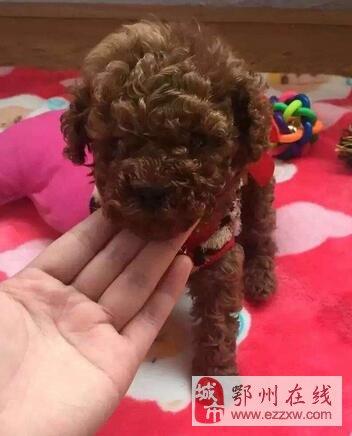 萌萌哒泰迪,两母一公,红棕色,可上门看狗