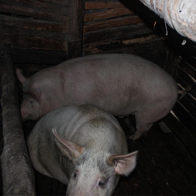 喂猪图片大全可爱