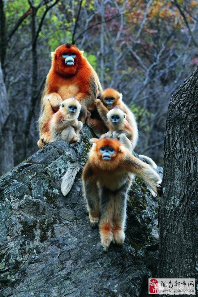 青藏高原东北缘山地:自然区划的交会之所是珍稀鸟兽的隐秘家园 摄影/方昀 等 陇南是甘肃野生动植物资源最丰富的地区,境内复杂的地形、温暖的气候、茂密的森林等得天独厚的自然生态环境,是野生动物和珍禽异兽气息繁衍的乐园。进入陇南山区,你可以大饱眼福:山林丛莽中有大熊猫、金丝猴出没,溪流江河中有大鲵、甲鱼戏游,林隙灌丛中有角雉、马鸡栖息 (节选自2016.
